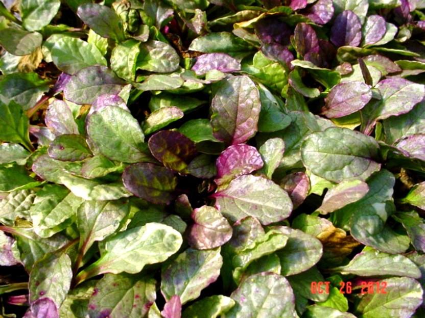 Ajuga Burgundy Glow (10 plants)