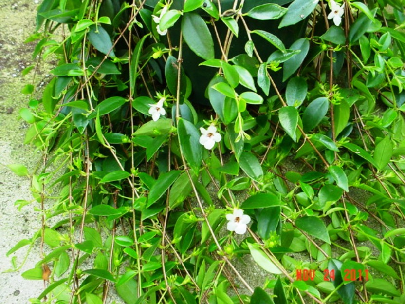 Codonanthe Gracilis