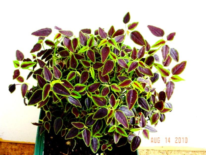 Euphorbia Flameleaf Spurge