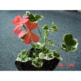 Frank Headly Fancy-Leaf Geranium