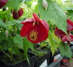 Abutilon Red Flowing Maple