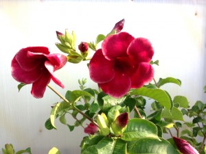 Allamanda Mini Red