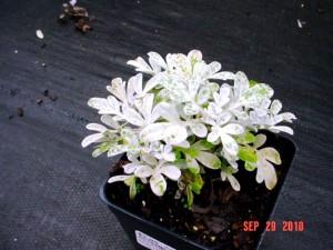 Artemesia silver brocade