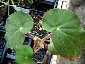 Alto Scharff Begonia