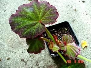 Art Hodes Begonia