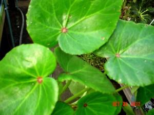 Begonia Bob Hamm