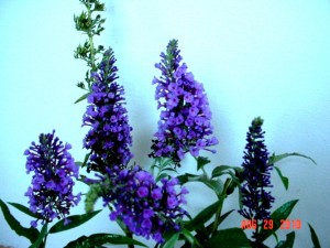 Butterfly Bush Lochinch