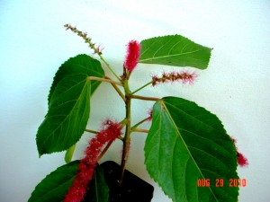 Upright Chenille Plant
