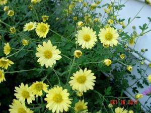 Legal Pad Yellow Hardy Mum