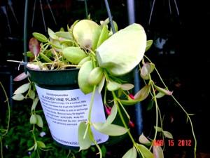 Dischildas (Bladder vine plant)