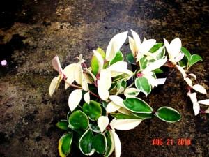 Hoya Carnosa Variegted