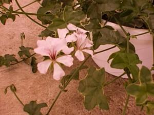 Ivy Geranium Le Elegant