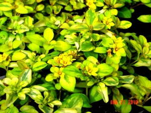 Lysimachia Golden Harvest