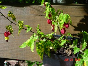 Abutilon China Bells Trailing
