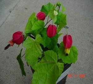 Chinese Lantern Flowering Maple