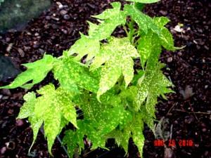 Gold Dust Flowering Maple
