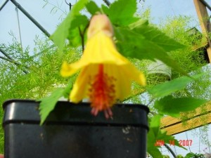 Kentish Belle Flowering Maple