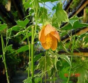 Souvenier de bonn Flowering Maple