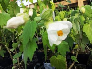Abutilon White Flowering Maple