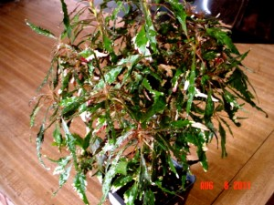 Acalypha Threadleaf