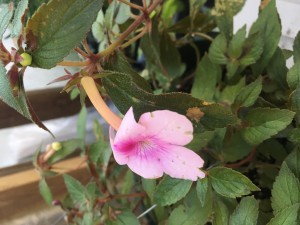Achimenes Purple Shades