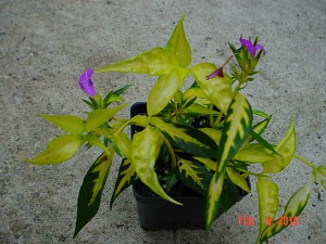Alternanthera Wavy Yellow