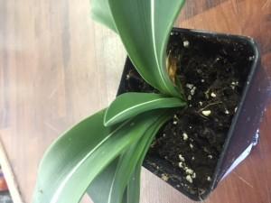 Amaryllis Striped Leaf