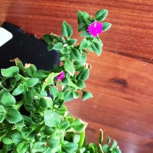 Baby Sun Rose Aptenia