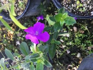 Barleria Purple Prince
