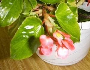 Amingo Pink Begonia