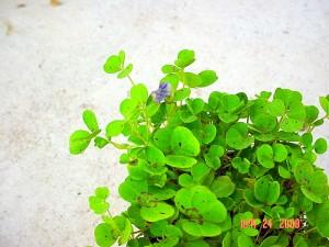 Blue Oxalis Shamrock Pea