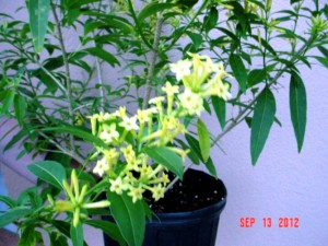 Chilian Yellow Jasmine