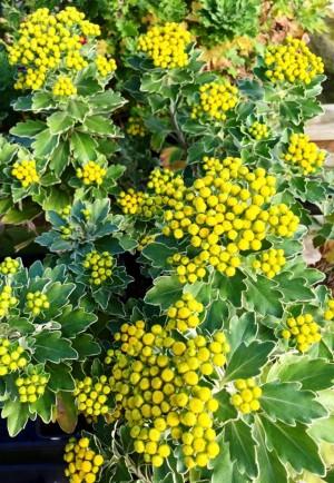 Silver & Gold Chrysanthemum