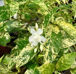 Crepe Jasmine Golden Rain