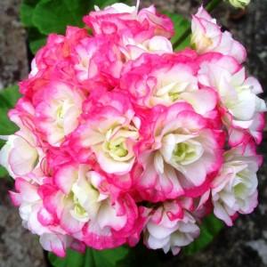 Appleblossom Rosebud Geranium