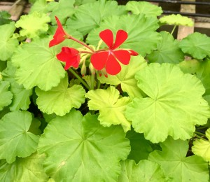 Fancy Leaf Geranium Persian King