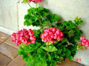 Patricia Andrea Unusual Geranium