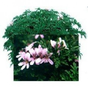 Candy Dancer Scented Geranium