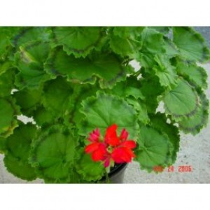 Distinction Fancy Leaf Geranium