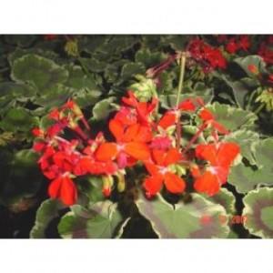 Dolly Varden Fancy-Leaf Geranium