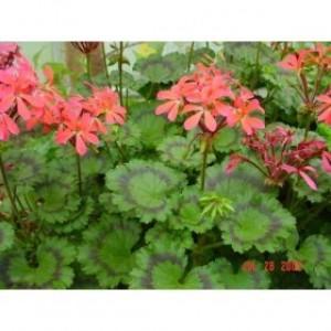 Grossensorten Fancy-Leaf Geranium