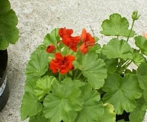 Scarlet Rosebud Geranium
