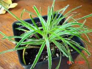 Ficinia Truncata Grass