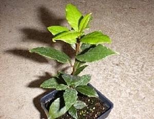 Bay Leaf (Laurel)