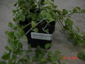 Bengalensis Dischidia