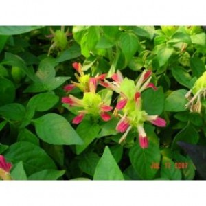 Fruit Cocktail Shrimp Plant