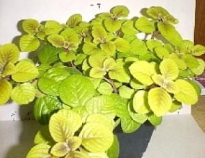 Coleus-Like Swedish Ivy