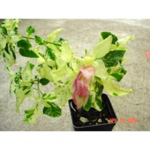 Variegated Shrimp Plant