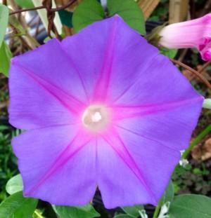 Blue Dawn Ipomoea