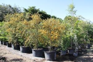 Jamacian Rain Tree